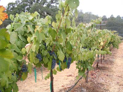 Shaker Ridge Vineyard Tempranillo Port Grapes