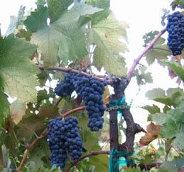 Shaker Ridge Vineyard Primitivo