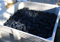 Shaker Ridge Vineyard Primitivo Grapes