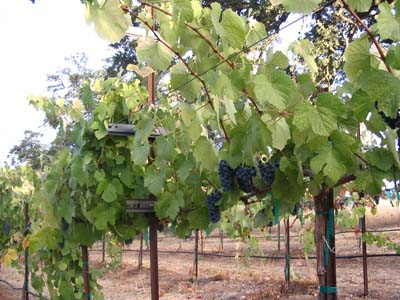 Shaker Ridge Vineyard Touriga Nacional Grapes