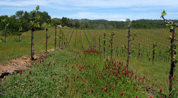 The vineyard in springtime at Shaker Ridge, El Dorado, CA