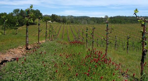 The vineyard in springtime at Shaker Ridge, El Dorado, CA
