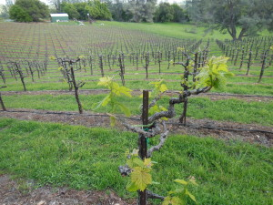 Budburst in 12-yo primitivo vines 4-4-14