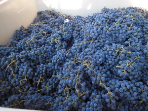 tinta cao grapes 9-13-14a