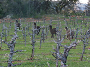 An alpaca caravan cuts across the pruned non-Quinta touriga field in search of treats.