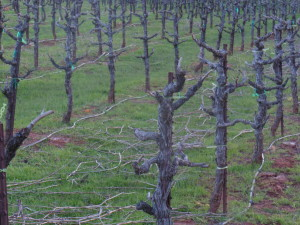 Close-up view of Shaker Ridge's nearly 13-yo primitivo vines shortly after winter pruning.